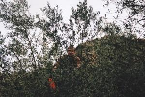 Manolis kämmt mit einem Rechen die Oliven von den Ästen.