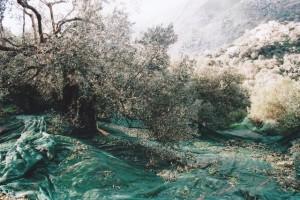 Der Boden unter den Olivenbäumen wird mit Netzen ausgelegt