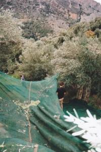 Die Oliven werden per Hand von den Bäumen geschlagen und landen in den Netzen.