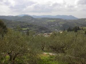 Die Olivenbäume stehen zum großen Teil in unwegsamem Gelände
