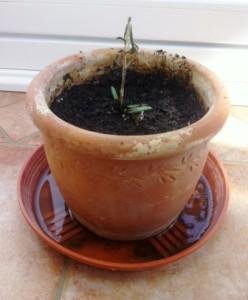 Einen Setzling haben wir in einen kleinen Topf gepflanzt. Vielleicht bilden sich ja Wurzeln.