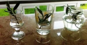 Wir versuchen, die abgeschnittenen Olivenbaum-Äste in Gläsern heramzuziehen.