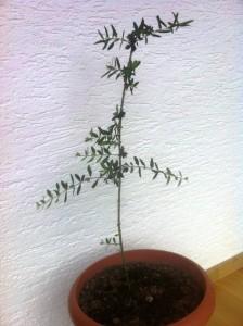 Olivenbaum im Winterquartier