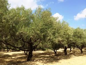 steigende Olivenölpreise