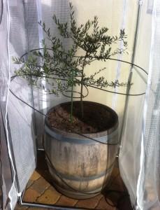Frostschutz Heizung Olivenbaum Schutz