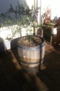 Olivenbaum Pflege und überwintern