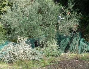 Klettern in luftiger Höhe um alle Oliven zu ernten