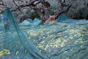 Geerntete Oliven auf den Netzen unter den Olivenbäumen