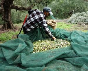 Olivenernte = anstrengende Handarbeit