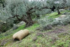 Olivensäcke a 55 kg