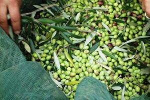 grüne Oliven frisch geerntet